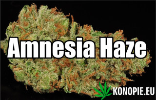 Amnesia haze 3