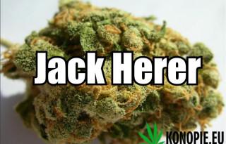 Jack Herer 2