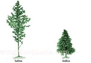 ilovegrowingmarijuana-sativa-indica-ruderalis-ebook
