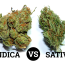 indica_vs_sativa