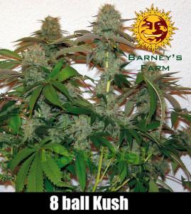 8-ball-kush-rostlina