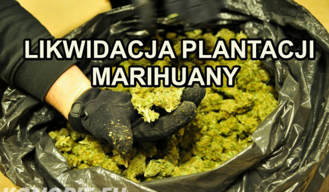 Likwidacja plantacji marihuany